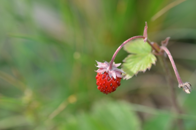 Wild Strawberry Fruit in Nature