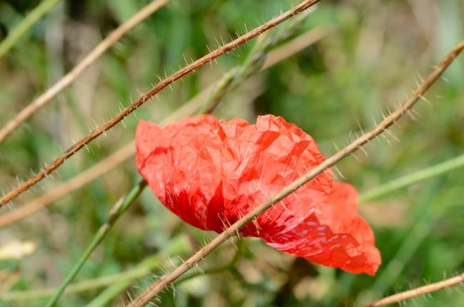 Poppy Stalks with Common Poppy Flower