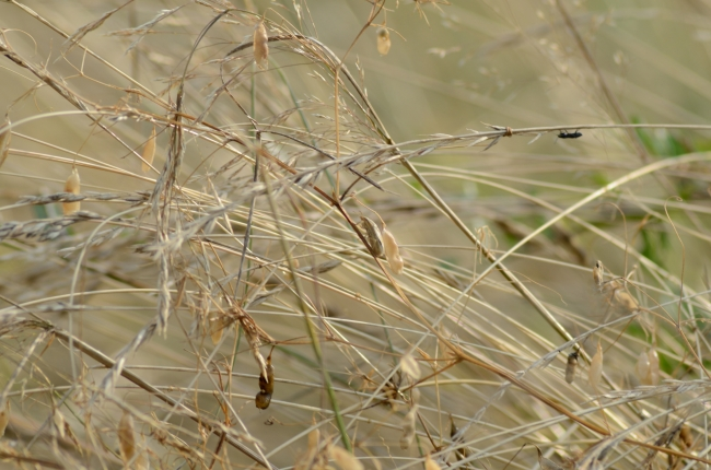Dry Grasses Background