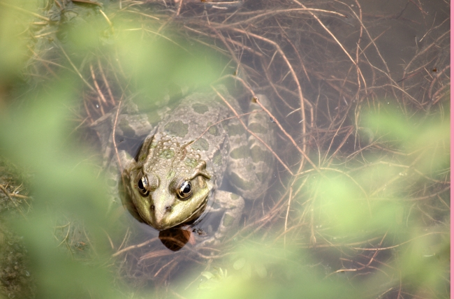 European Green Toad Getting out of Water