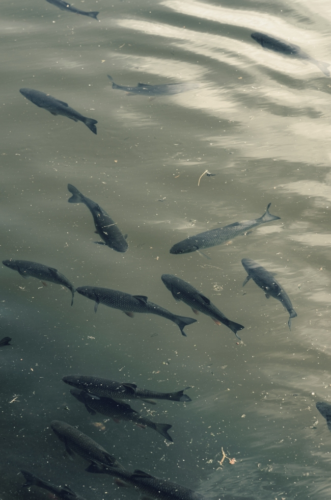 About a Dozen Fish Swimming in Water