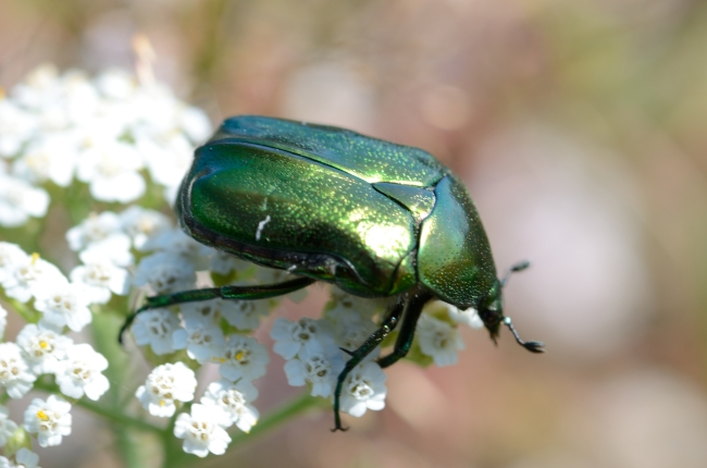 Flower with Green Fruit Beetle