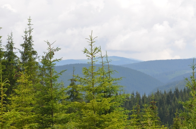Tall Fir Trees in the Mountains