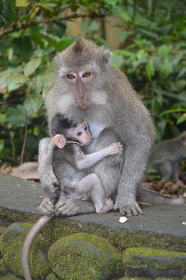 Long-Tailed Macaque with Small Offspring