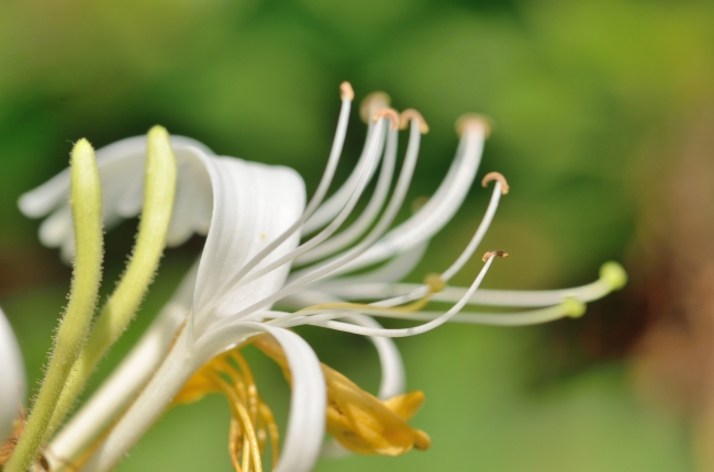 Honeysuckle in Bloom - White Flowers