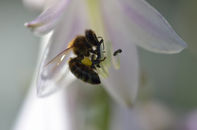 Bee Collecting Pollen with Pollen Basket Exposed on the Right Leg