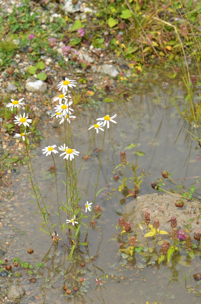 Small Oxeye Daisy Flowers in Water