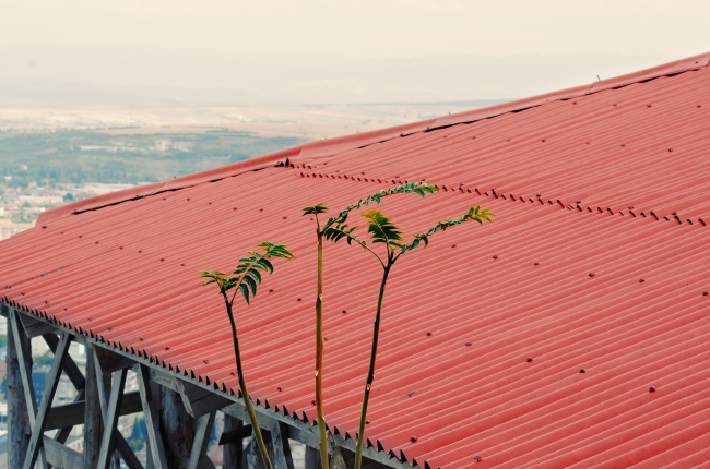 Red Tin Roof and Young Tree of Heaven