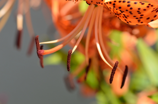 Macro of European Fire Lily Sepals - Close-Up