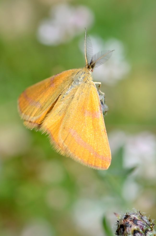 Moth with Feathery Antennae and Yellow Wings