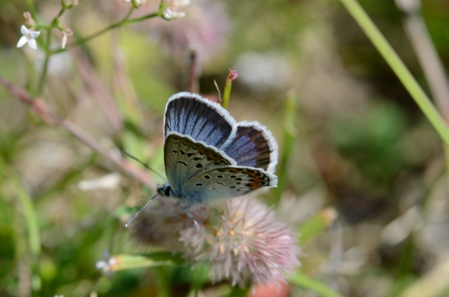 Young Blue Butterfly Resting on a Fluffy Flower