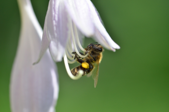 Bee Collecting Yellow Pollen from Flower