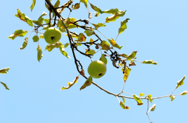 Unripe Apples on an Appple Tree Branch