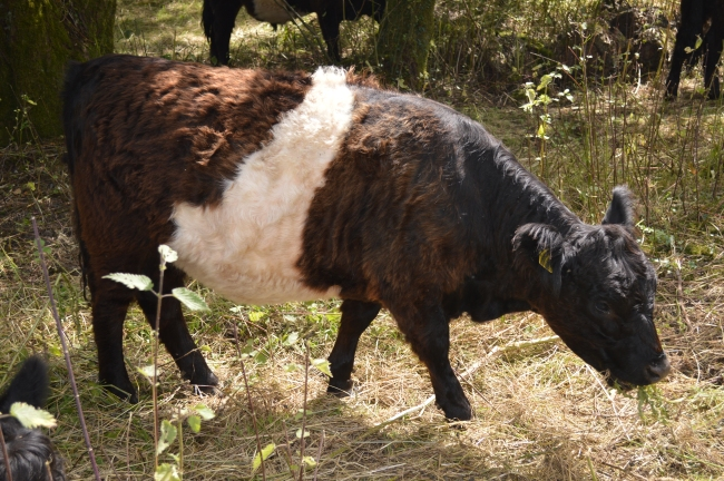 Young Brown Cow Grazing Grass and Leaves