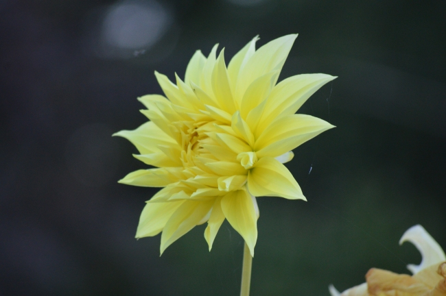 Yellow Flower in Bloom and Bokeh