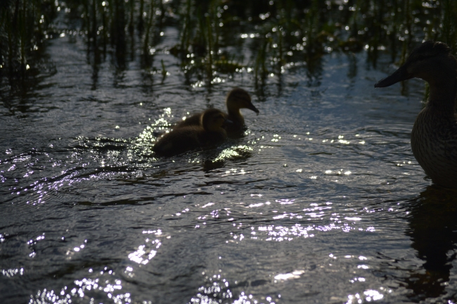 Two Ducklings Swimming on a Lake in the Evening