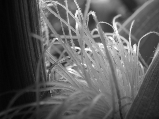 Macro of Corn Silk - Black and White