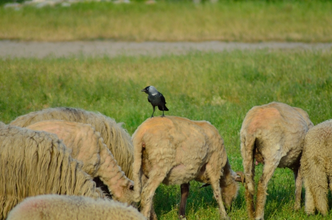 Crow Landed on a Sheep