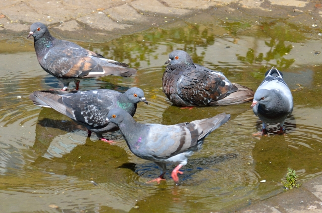Five Pigeons Bathing in a Puddle