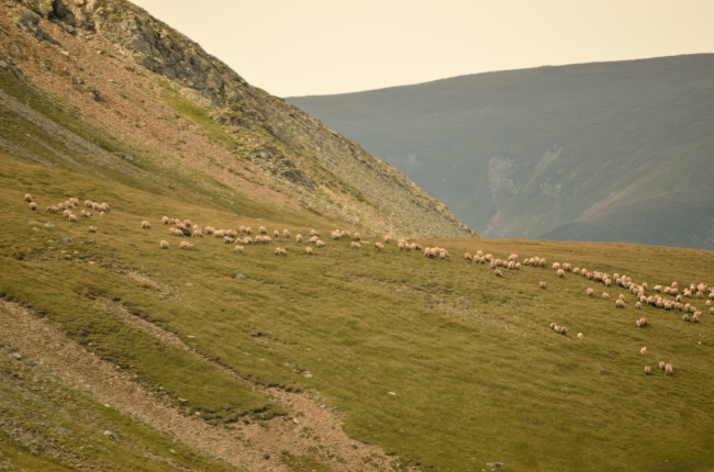 Sheep Eating Grass in the Mountains