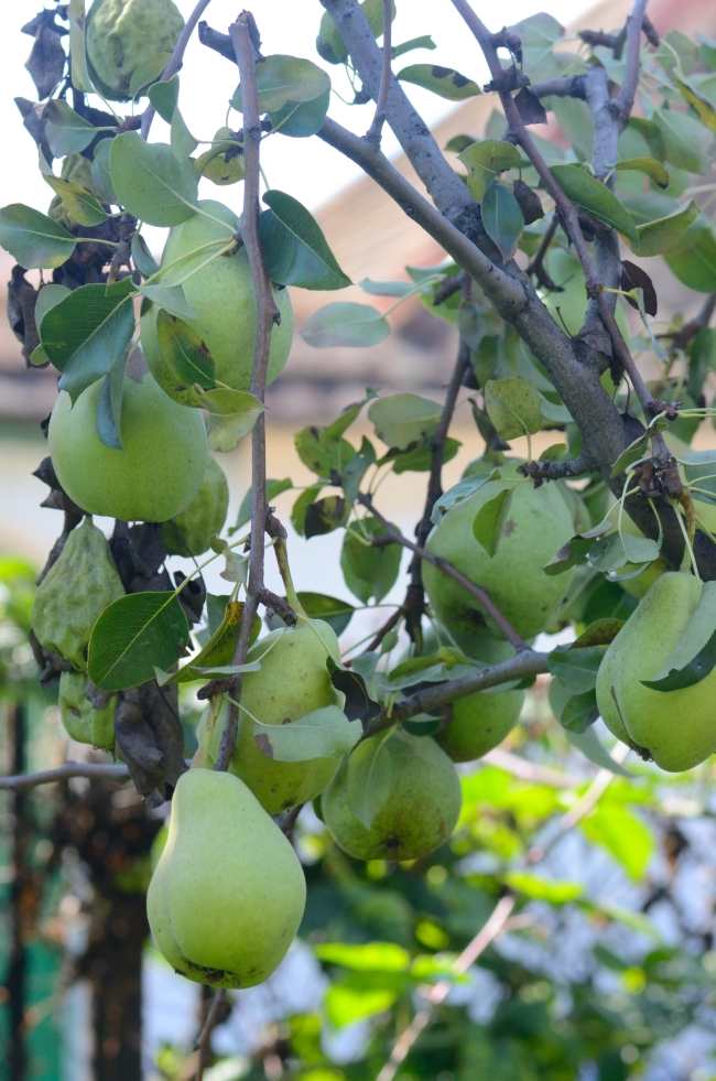 A Few Branches with Pears