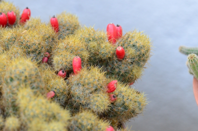 Small Red Cactus Fruits