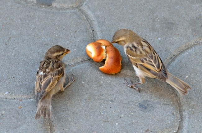 Sparrows Eating Bread in the Street