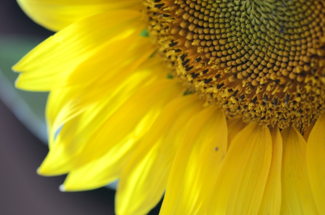 Sunflower with Forming Seeds - Close-Up