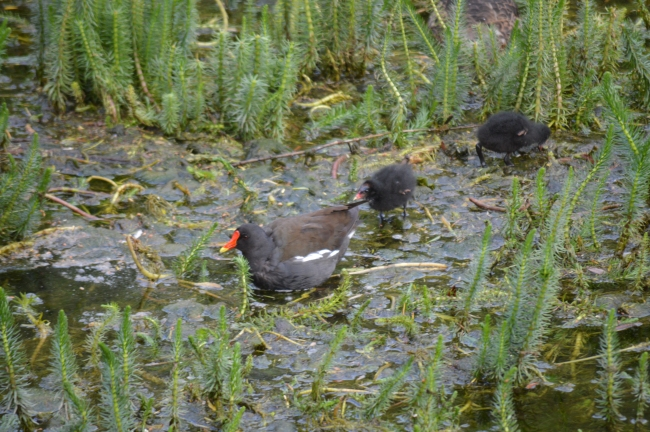 Common Moorhen and Chicks on Vegetation in a Lake
