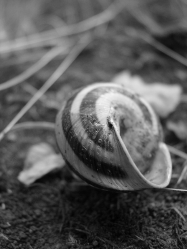 Shell of a Snail - Close-Up in B/W