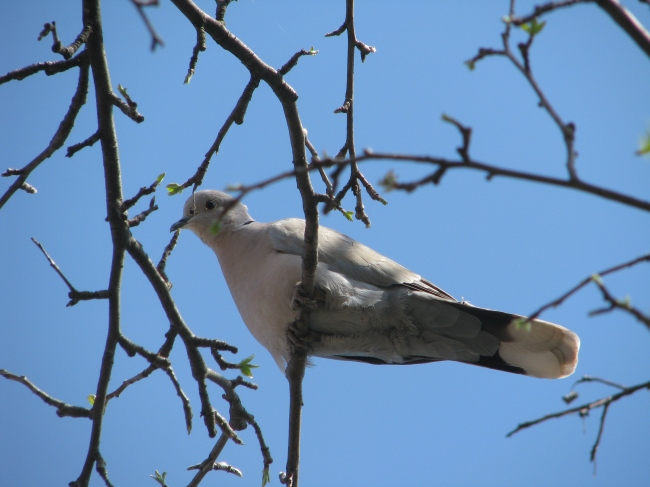 Young Turtle Dove Resting on a Branch in the Spring