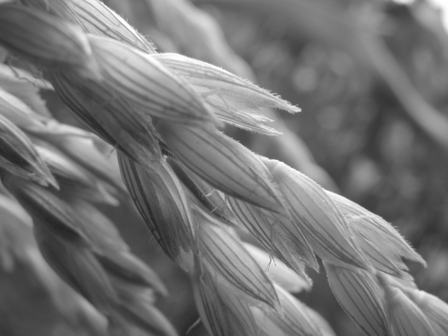 Close-Up of a Wheat Ear - Black and White