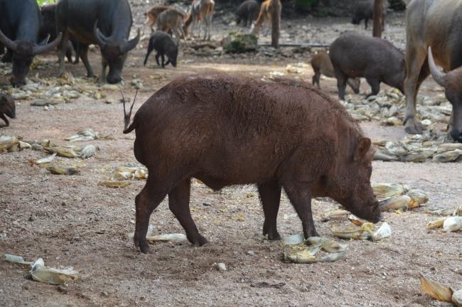 Wild Brown Boar Male Walking in an Asian Zoo