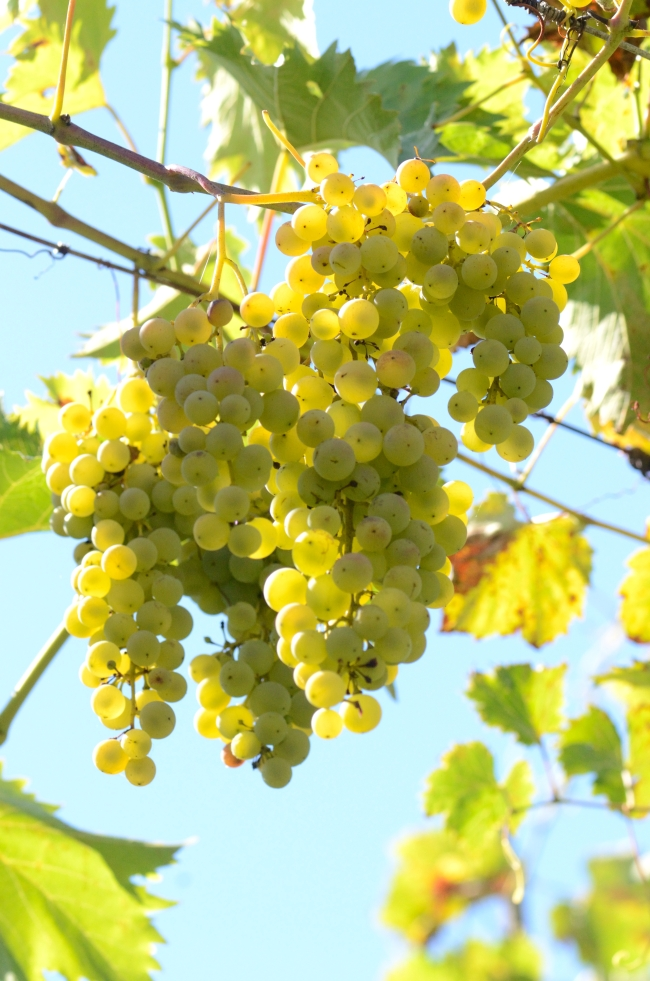 Vine with Yellow Grapes