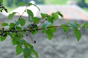 Black Fruits on a Branch