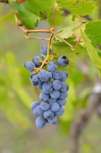 Black Grapes on Vine - Fine Close-Up