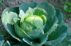 Cabbage Plant in the Garden during Late Summer