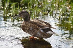 Duck near Lake Vegetation