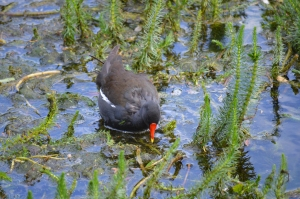 Common Moorhen Looking for Food through Vegetation