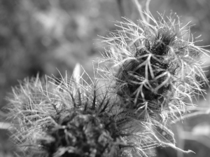 Thistle Seen from Close Distance - Black and White