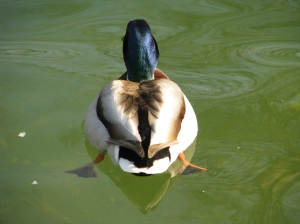 A Mallard Duck on a Lake