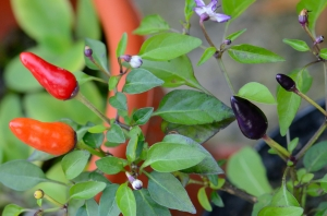 Pot with Red and Violet Peppers