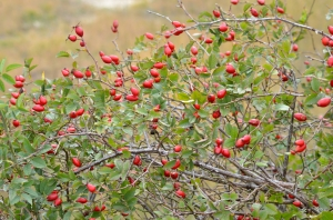 Dozens of Rose Hips on Bush in the Early Autumn