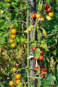 Ripe and Unripe Tomatoes in a Garden