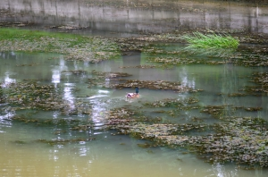 Duck and Vegetation in Water
