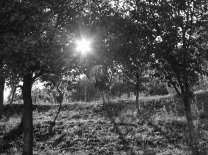 Trees in an Orchard with Direct Sunlight Ahead