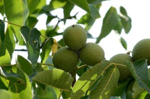 Unripe Walnuts on a Branch