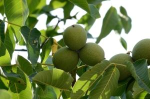 Unripe Walnuts on a Branch