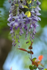 Colorful Wisteria Flower in Bloom