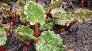 Young Rhubarb Growing on the Ground